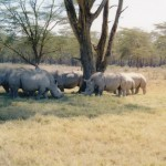 African Double Horned Rhinos