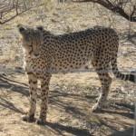 Cheeta in the National Park near Windhoke Namibia