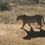 Leopard in the National park near Windhoke