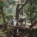 Lemurs of different type at Lemur Park Antananarivo, Madagascar