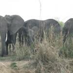 Elephants waiting for snaps at National Park Mikumi