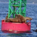 The Seals watching Juneau Bay Alaska