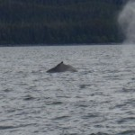 Whale watch Juneau Bay Alaska